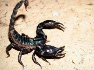 Diferencia entre escorpión y alacrán